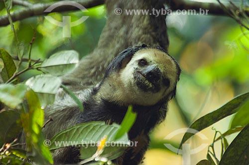 Preguiça-de-bentinho (Bradypus tridactylus)  - Manaus - Amazonas (AM) - Brasil