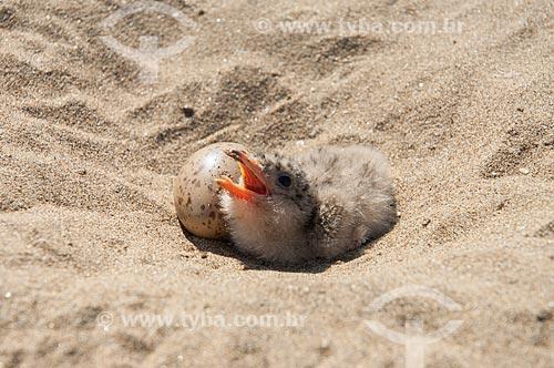 Assunto: Ninho de Talha-mar (Rynchops niger) na praia de rio / Local: Amazonas (AM) - Brasil / Data: 10/2007