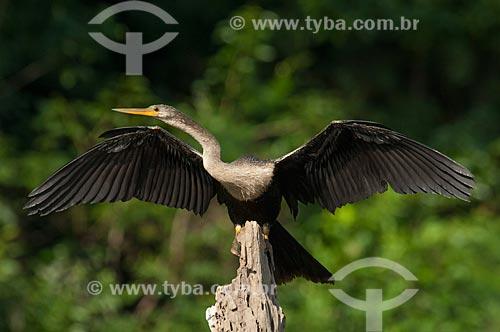 Biguatinga (Anhinga anhinga) - também conhecido como carará, anhinga, meuá, muiá ou mergulhão-serpente - em um tronco no Lago Mamirauá  - Tefé - Amazonas (AM) - Brasil