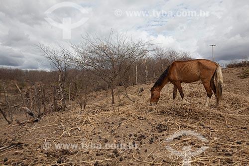 Assunto: Cavalo pastando no Açude Velho - em período de seca / Local: São José do Egito - Pernambuco (PE) - Brasil / Data: 01/2013