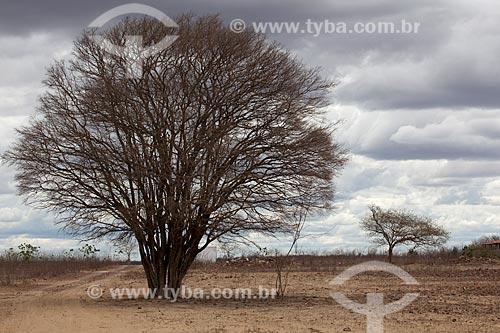Assunto: Árvore Algaroba (Prosopis juliflora) próximo ao Açude Novo em período de seca / Local: São José do Egito - Pernambuco (PE) - Brasil / Data: 01/2013