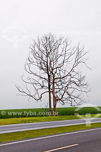 Assunto: Árvore seca à margem da Rodovia Cândido Portinari (SP-334) no trecho entre Batatais e Franca / Local: Batatais - São Paulo (SP) - Brasil / Data: 12/2012