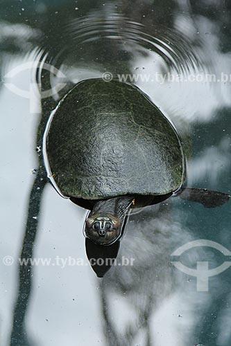 Assunto: Tartaruga-da-Amazônia (Podocnemis expansa) no Jardim Zoológico do Rio de Janeiro / Local: Rio de Janeiro (RJ) - Brasil / Data: 01/2013