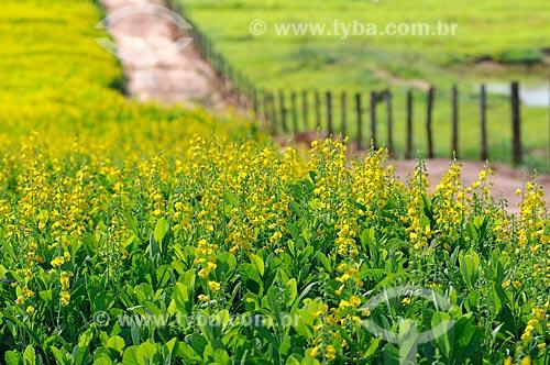 Assunto: Plantação de Crotalária (Crotalária juncea) com um caminho ao fundo / Local: Onda Verde - São Paulo (SP) - Brasil / Data: 02/2013