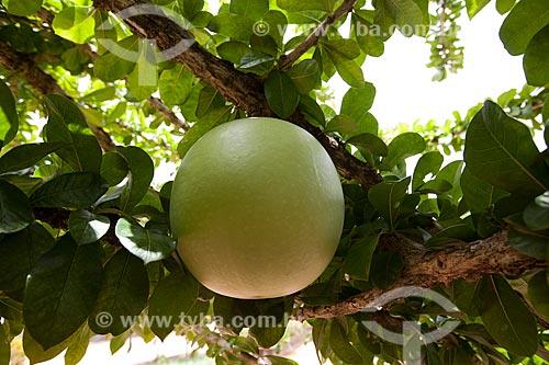 Assunto: Coité (Crescentia cujete) também conhecido como Cabaça  / Local: Areia - Paraíba (PB) - Brasil / Data: 02/2013