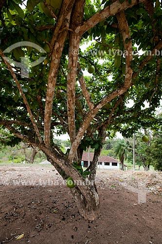 Assunto: Coité (Crescentia cujete) - também conhecida como Cuieira ou Cabaça / Local: Areia - Paraíba (PB) - Brasil / Data: 02/2013