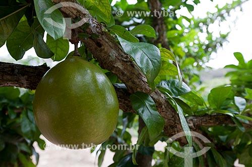 Assunto: Detalhe do fruto do Coité (Crescentia cujete) - também conhecida como Cuieira ou Cabaça / Local: Areia - Paraíba (PB) - Brasil / Data: 02/2013