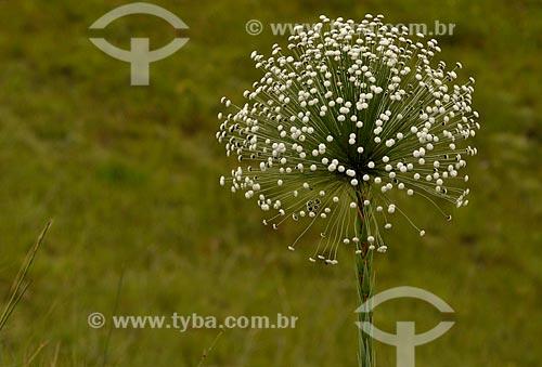 Assunto: Sempre Viva (Paepalanthus Sp.) - também conhecido como Chuveirinho - no Vale dos Canteiros / Local: São João Batista do Glória - Minas Gerais (MG) - Brasil / Data: 03/2013