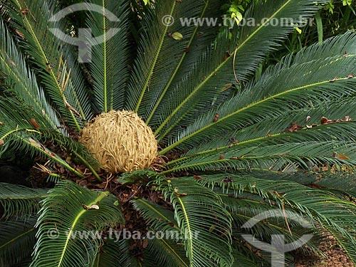 Assunto: Sagu-de-jardim (Cycas revoluta) - também conhecido como Palma de Ramos ou Palmeira Cica - na Praia da Ferrugem / Local: Garopaba - Santa Catarina (SC) - Brasil / Data: 2012