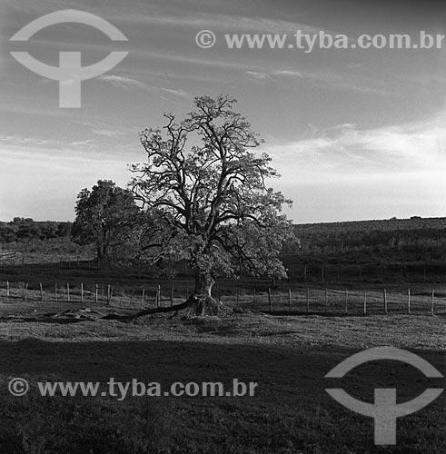 Assunto: Ombú (Phytolacca dioica) - também conhecida como Umbú - na Fazenda Santa Cândida / Local: Bagé - Rio Grande do Sul (RS) - Brasil / Data: 1982