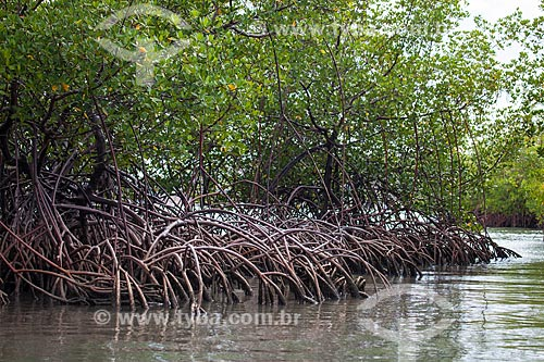 Assunto: Mangue-vermelho (Rhizophora mangle) na Lagoa de Guaraíras - também conhecida como Lagoa do Tibau / Local: Distrito de Pipa - Tibau do Sul - Rio Grande do Norte (RN) - Brasil / Data: 03/2013