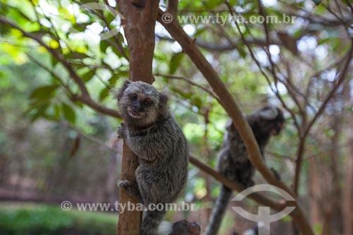 Assunto: Sagui-de-tufos-brancos (Callithrix jacchus) no Santuário Ecológico de Pipa / Local: Tibau do Sul - Rio Grande do Norte (RN) - Brasil / Data: 03/2013