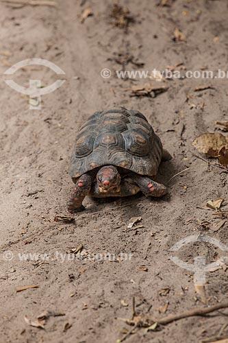 Assunto: Jabuti-piranga (Chelonoidis carbonaria) no Santuário Ecológico de Pipa / Local: Tibau do Sul - Rio Grande do Norte (RN) - Brasil / Data: 03/2013