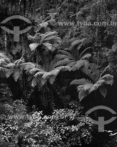 Assunto: Xaxim (Dicksonia sellowiana) / Local: São Francisco de Paula - Rio Grande do Sul (RS) - Brazil / Data: 1986