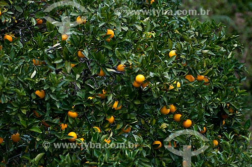 Assunto: Laranjas ainda na Laranjeira (Citrus sinensis) / Local: Rio Grande do Sul (RS) - Brasil / Data: 05/2013