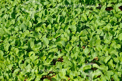 Assunto: Plantação de rúcula / Local: São José do Rio Preto - São Paulo (SP) - Brasil / Data: 05/2013