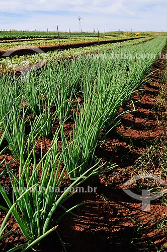 Assunto: Plantação de cebolinha / Local: São José do Rio Preto - São Paulo (SP) - Brasil / Data: 05/2013