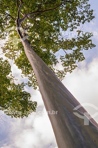 Assunto: Árvore conhecida como Pau mulato (Capirona decorticans) no Instituto Moreira Salles / Local: Gávea - Rio de Janeiro (RJ) - Brasil / Data: 04/2013