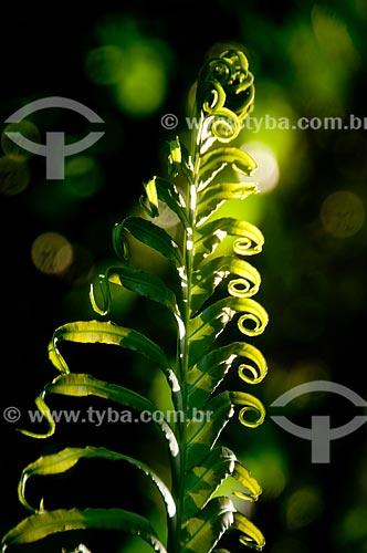 Assunto: Detalhe de folha de samambaia no jardim botânico / Local: Jardim Botânico - Rio de Janeiro (RJ) - Brasil / Data: 07/2011
