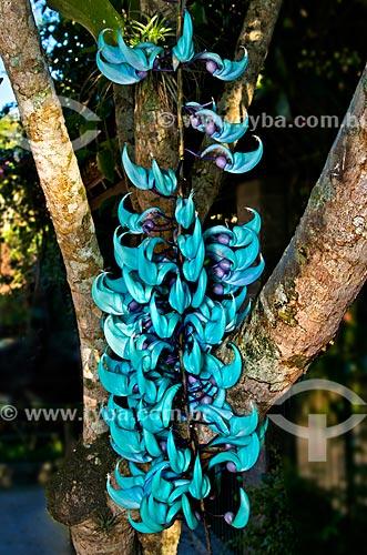 Assunto: Flor de trepadeira Jade (Strongylodon macrobotrys) / Local: Rio de Janeiro (RJ) - Brasil / Data: 06/2013