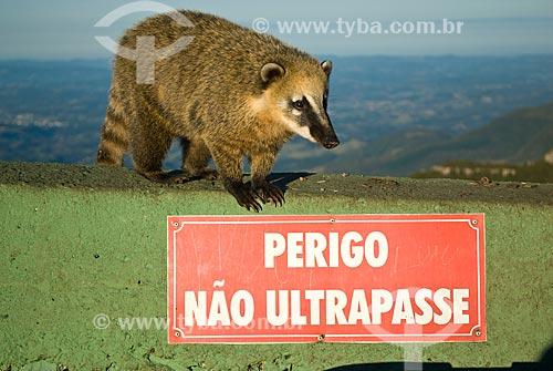 Assunto: Quati-de-cauda-anelada (Nasua nasua) em cima de placa de Não Ultrapassam / Local: Lauro Muller - Santa Catarina (SC) - Brasil / Data: 07/2013