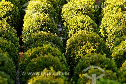 Assunto: Buxo (Buxus sempervirens) - também conhecido como Buxinho - Planta Ornamental  / Local: Potirendaba - São Paulo (SP) - Brasil / Data: 08/2013