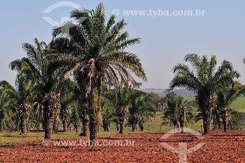 Assunto: Bacuri (Scheelea phalerata) / Local: Mendonça - São Paulo (SP) - Brasil / Data: 08/2013