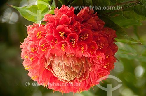 Assunto: Flor de Sol-da-Bolívia - também conhecido como Chapéu-de-Sol ou Sol-da-Mata - no Jardim Botânico do Rio de Janeiro / Local: Jardim Botânico - Rio de Janeiro (RJ) - Brasil / Data: 08/2011