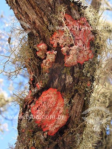 Assunto: Detalhe de tronco de árvore com líquens / Local: Distrito de Conceição de Ibitipoca - Lima Duarte - Minas Gerais (MG) - Brasil / Data: 04/2009