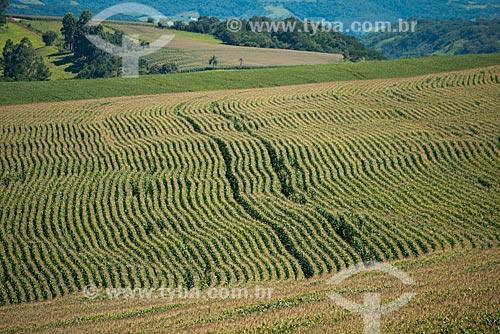 Assunto: Plantação de milho na zona rural de Cascavel / Local: Cascavel - Paraná (PR) - Brasil / Data: 01/2013