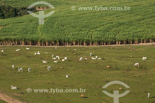 Assunto: Criação de gado com plantação de cana-de-açúcar ao fundo / Local: Piracicaba - São Paulo (SP) - Brasil / Data: 05/2013