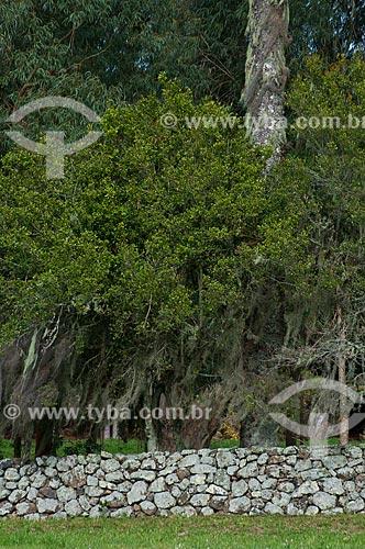 Assunto: Muro de taipa com árvores ao fundo / Local: Campos de Cima da Serra - Rio Grande do Sul (RS) - Brasil / Data: 09/2013