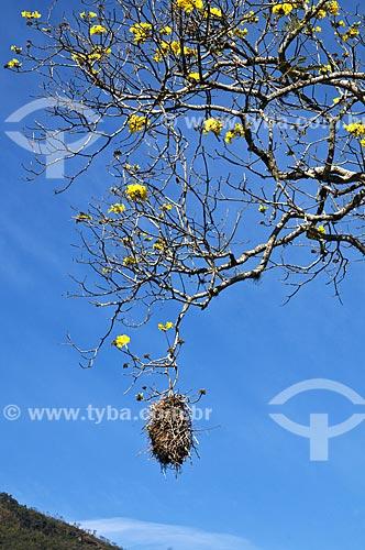 Assunto: Ninho de João-de-pau (Phacellodomus rufifrons) - também conhecido como João-graveto - no Ipê-Amarelo / Local: Aiuruoca - Minas Gerais (MG) - Brasil / Data: 07/2013