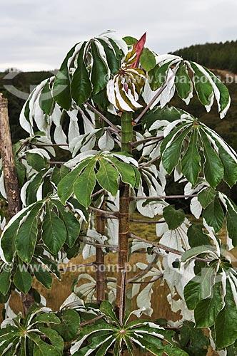 Assunto: Detalhe de Embaúba - também conhecida como imbaúba, imbaúva ou árvore-da-preguiça - na estrada entre de Araxá para Tapira / Local: Araxá - Minas Gerais (MG) - Brasil / Data: 07/2013