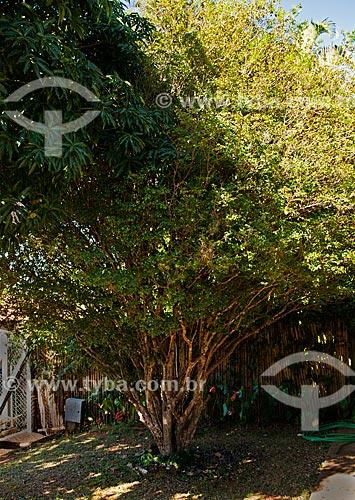 Assunto: Jabuticabeira (Myrciaria cauliflora) / Local: Araxá - Minas Gerais (MG) - Brasil / Data: 07/2013