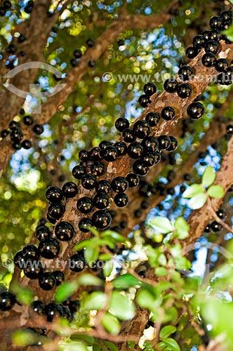 Assunto: Jabuticaba ainda na Jabuticabeira (Myrciaria cauliflora) / Local: Araxá - Minas Gerais (MG) - Brasil / Data: 07/2013