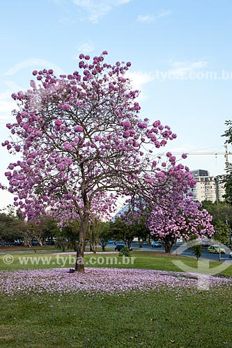 Assunto: Ipê-Rosa (Tabebuia heptaphylla) florido / Local: Glória - Rio de Janeiro (RJ) - Brasil / Data: 08/2013