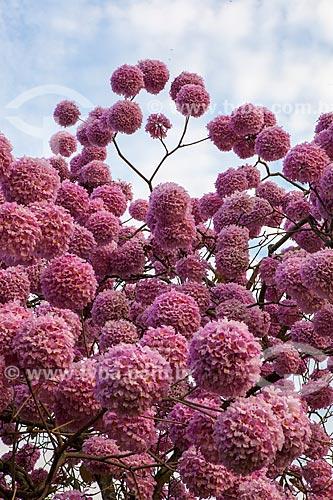 Assunto: Detalhe de Ipê-Rosa (Tabebuia heptaphylla) florido / Local: Glória - Rio de Janeiro (RJ) - Brasil / Data: 08/2013