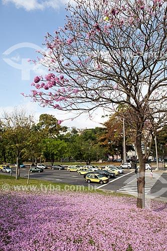 Assunto: Ipê-Rosa (Tabebuia heptaphylla) florido próximo à Avenida Beira-Mar / Local: Glória - Rio de Janeiro (RJ) - Brasil / Data: 08/2013