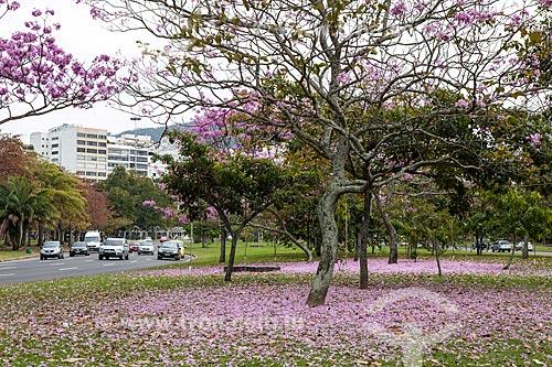Assunto: Ipê-Rosa (Tabebuia heptaphylla) florido próximo à Avenida Infante Dom Henrique / Local: Flamengo - Rio de Janeiro (RJ) - Brasil / Data: 08/2013