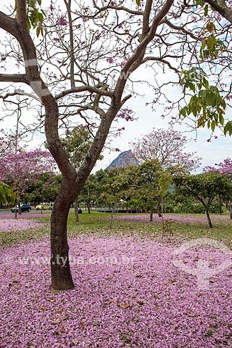 Assunto: Ipê-Rosa (Tabebuia heptaphylla) florido com o Pão de Açúcar ao fundo / Local: Flamengo - Rio de Janeiro (RJ) - Brasil / Data: 08/2013
