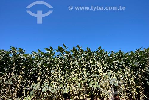 Assunto: Vagens de soja em plantação transgênica na zona rural de Cascavel / Local: Cascavel - Paraná (PR) - Brasil / Data: 01/2013