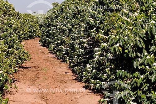 Assunto: Plantação de Café durante a florada / Local: Neves Paulista - São Paulo (SP) - Brasil / Data: 09/2013