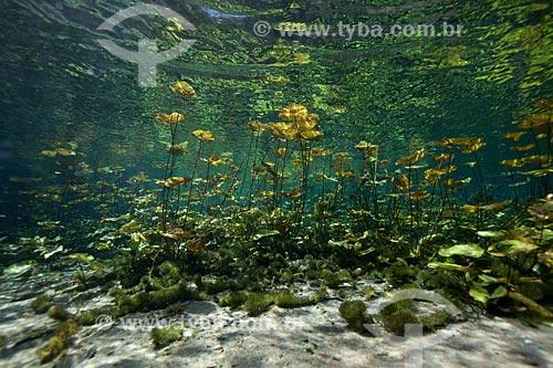 Assunto: Foto subaquática do Rio da Pratinha / Local: Iraquara - Bahia (BA) - Brasil / Data: 09/2012