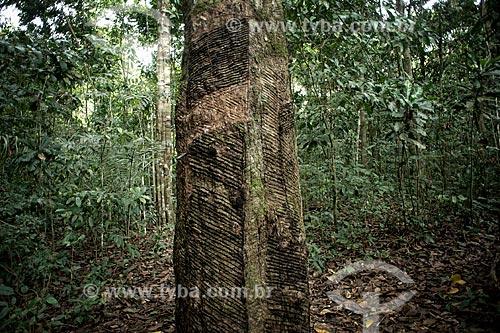 Assunto: Coleta de látex em seringueira (Hevea brasiliensis) no Seringal Cachoeira / Local: Xapuri - Acre (AC) - Brasil / Data: 06/2013
