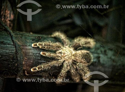 Assunto: Aranha-caranguejeira próximo ao Rio Grégorio / Local: Acre (AC) - Brasil / Data: 04/2013