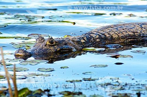 Assunto: Jacaré-do-pantanal (caiman crocodilus yacare) - também conhecido como Jacaré-do-paraguai - no pantanal do Rio Abobral / Local: Mato Grosso do Sul (MS) - Brasil / Data: 11/2011