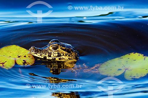Assunto: Filhote de Jacaré-do-pantanal (caiman crocodilus yacare) - também conhecido como Jacaré-do-paraguai - no pantanal do Rio Abobral / Local: Mato Grosso do Sul (MS) - Brasil / Data: 11/2011