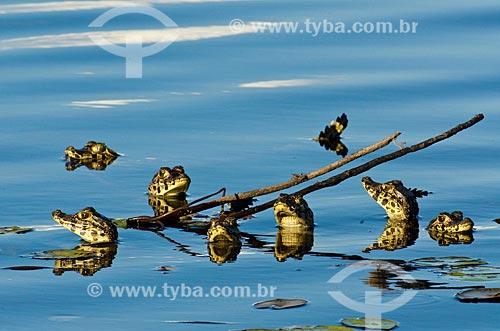 Assunto: Filhotes de Jacaré-do-pantanal (caiman crocodilus yacare) - também conhecido como Jacaré-do-paraguai - no pantanal do Rio Abobral / Local: Mato Grosso do Sul (MS) - Brasil / Data: 11/2011