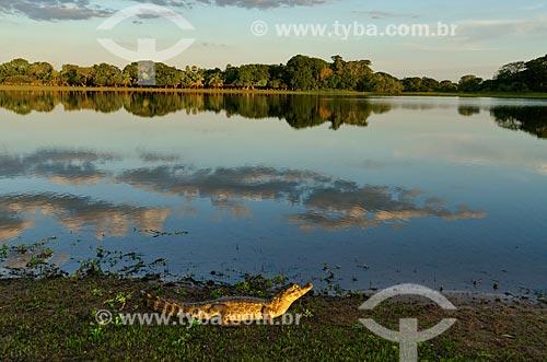 Assunto: Jacaré-do-pantanal (caiman crocodilus yacare) - também conhecido como Jacaré-do-paraguai - às margens da baía no Estrada Parque Pantanal / Local: Corumbá - Mato Grosso do Sul (MS) - Brasil / Data: 11/2011